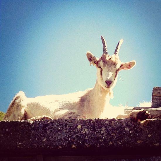 Goat Earlgrey Filter EyeEmSwiss