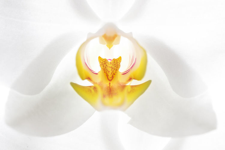 White and yellow blooming orchid in closeup from the front Abstract Beauty In Nature Close-up Closeup Day Flower Flower Head Fragility Freshness Front View Macro Nature No People Orchid Orchidea Orhidee Outdoors Petal Pollen White White Background Yellow Yellow Flower