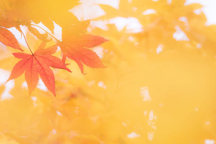 Leaf Plant Part Autumn Change Maple Leaf Plant Orange Color Close-up Beauty In Nature No People Nature Maple Tree Growth Yellow Selective Focus Tree Backgrounds Day Branch Tranquility Outdoors Leaves Natural Condition Brightly Lit