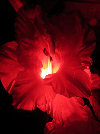 red Nature Scarlett Botanical Rosato Flowers Nightgarden Garden Beauty Gladiolus Fleurs гладиолус МайяПлисецкая ночнойсад Colored Shadow Midnight Silhouette Infrared Red Glow Clearance Redlight Marsala Red Flower Head Blooming Hibiscus In Bloom Cosmos Flower Rosé