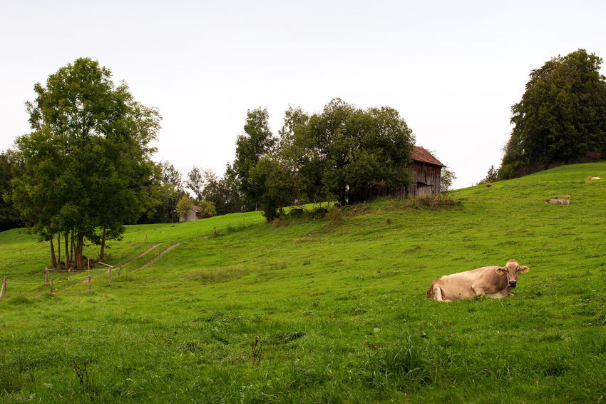 Countryside in Bavaria/Germany Beauty In Nature Bayern Allgäu Landscape Landscapes Nature No People Tranquility Agriculture Agricultural Field Countryside Cow Cows Rural Scene Grassland Grasslands Meadow Travel Destination Travel Destinations Tourist Destination Tourist Destinations Agricultural Fields Rural Scenes