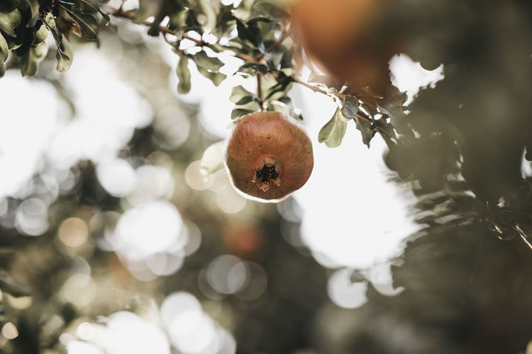 Agriculture Branch Close-up Day Focus On Foreground Food Food And Drink Freshness Fruit Fruit Tree Growth Hanging Healthy Eating Nature No People Outdoors Plant Selective Focus Tree Wellbeing