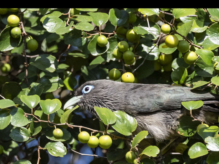 Blue-faced Malkoha (Phaenicophaeus viridirostris) One Animal Animal Themes Animal Animal Wildlife Plant Part Leaf Vertebrate Bird Plant Animals In The Wild Green Color Nature No People Perching Day Tree Close-up Growth Fruit Branch Outdoors