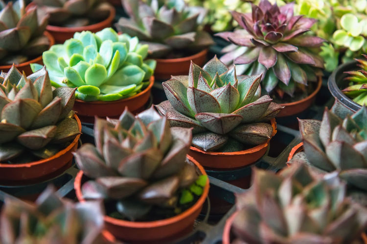 Succulent Plant Plant Growth Potted Plant Green Color No People Cactus Beauty In Nature Nature Leaf Day Plant Part Selective Focus Close-up High Angle View Freshness Spiked Botany Outdoors Choice Flower Pot Flower Market Hong Kong