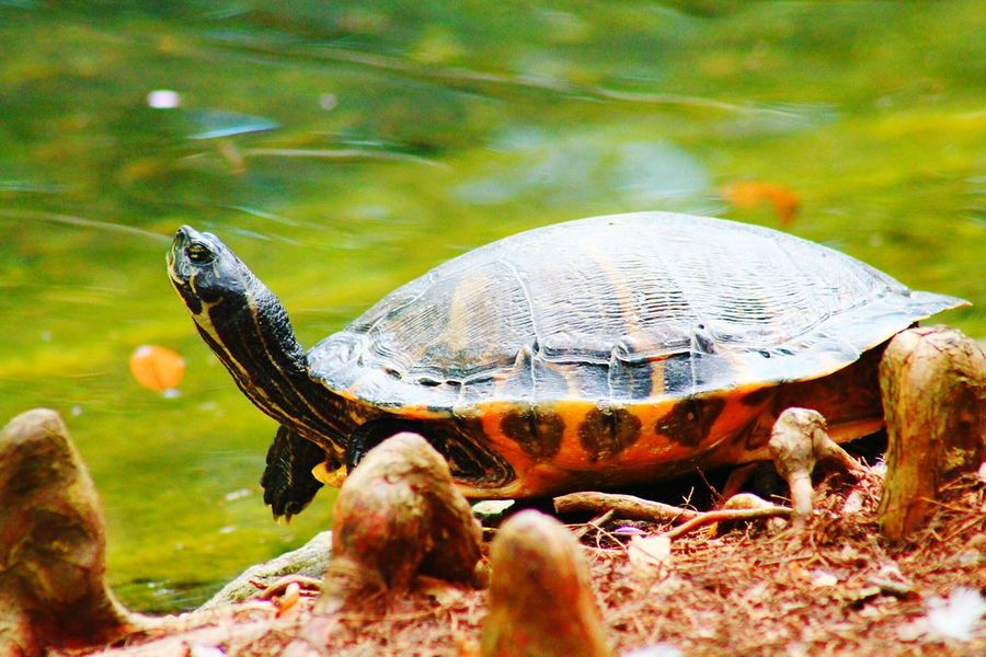 Enjoying Life Hanging Out Reptiles Turtle EyeEm Nature Lover Animal Photography