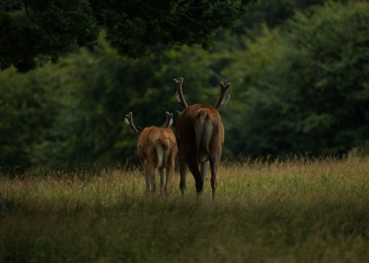 Red deer walking on grassy field