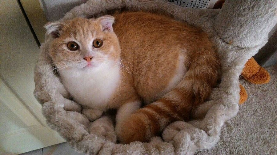 Pretty pretty :) Cat♡ Scottishfold