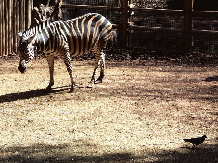 Dolichohippus Hippotigris Zebra Cebra Dolichocippus Hippotigris
