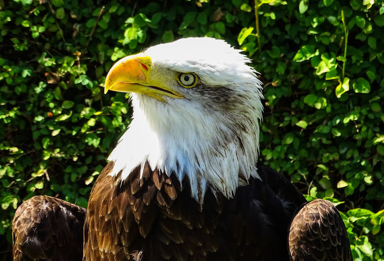 American Eagle Bald Eagle Bald Eagle Portrait Animal Themes Animal Wildlife Animals In The Wild Bald Eagle Bald Eagle Close-up Beak Bird Bird Of Prey Close-up Day Eagle - Bird Focus On Foreground Nature No People One Animal Outdoors Tree