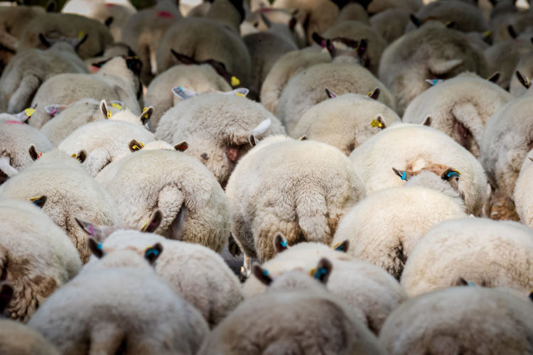 sheep on the move Abundance Agriculture Animal Animal Themes Day Domestic Domestic Animals Flock Of Sheep Group Of Animals Herbivorous Herd Large Group Of Animals Livestock Mammal Nature No People Pets Sheep Textile Vertebrate Wool