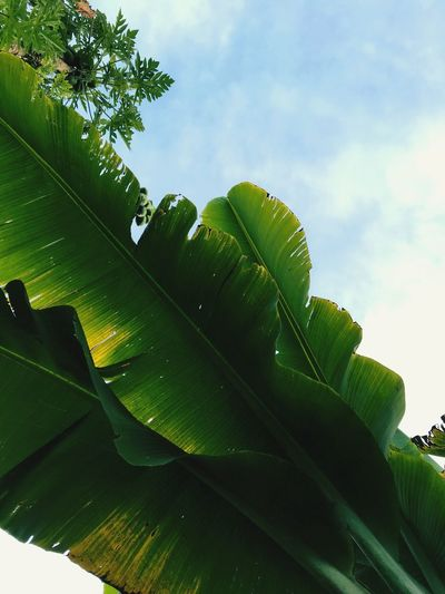 Leaf Green Color Growth Nature Banana Tree Banana Leaf Sky Beauty In Nature Plant Day Low Angle View No People Outdoors Cloud - Sky Close-up Freshness Tree