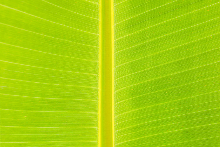 Backgrounds Banana Leaf Beauty In Nature Close-up Day Freshness Frond Green Color Growth Leaf Nature No People Outdoors Pattern Textured  Tree