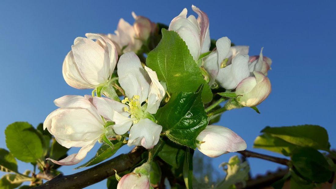 Appel Blossom Prickly Pear Cactus Flower Blue Clear Sky Cactus Leaf Sunlight Sky Close-up Plant