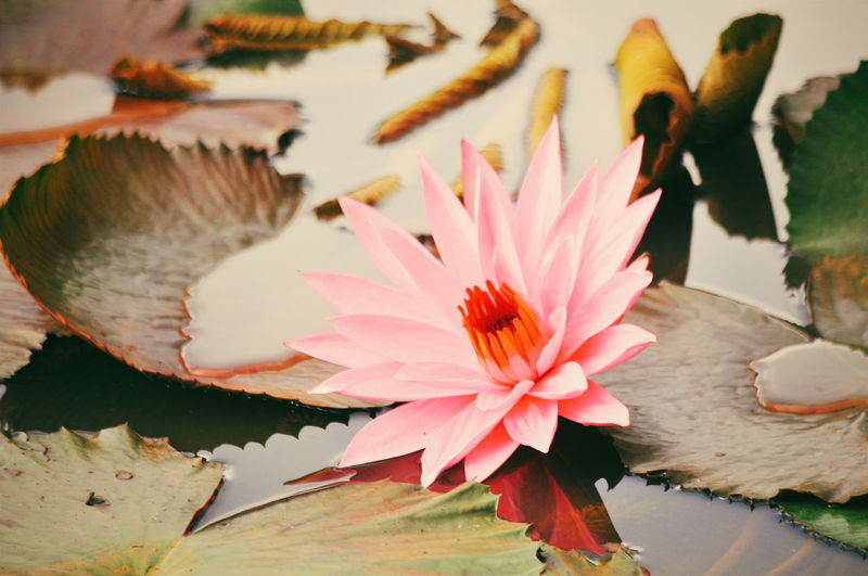 Water Lily on Lake Flower Collection Lotus Flower EyeEmNewHere Pink Color Landscape Pink Flower EyeEm Selects Flowers Flower Head Flower Petal Water Close-up Plant Water Lily Lotus Water Lily Water Plant Floating On Water Floating In Bloom Blossom Lily Pad Plant Life Lotus Lily
