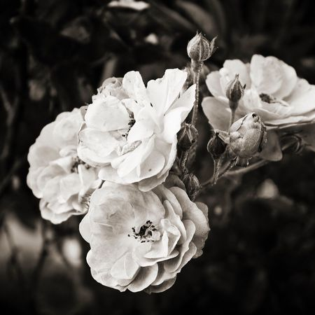 Midlands Kwazulunatal Nature Blackandwhite Roses Wildflowers