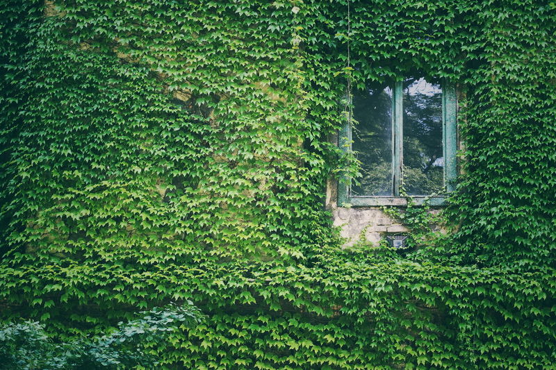 Ivy Growing On Building Exterior