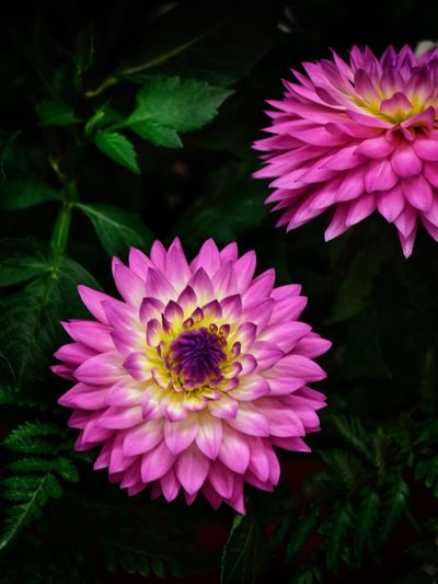 Dahlia Dahlia Flowers Dahlia Flower Background Backgrounds Flowering Plant Flower Plant Fragility Vulnerability  Petal Freshness Inflorescence Flower Head Growth Beauty In Nature Pink Color Close-up Nature No People Leaf Day Focus On Foreground Plant Part Pollen