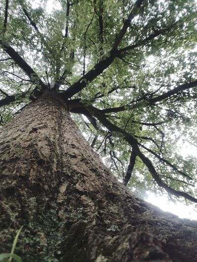 Nature view from a different perspective Tall - High Habitat We Share Pure Beauty PurposeForLife Tree Branch Tree Trunk Forest Sky Growing EyeEmNewHere