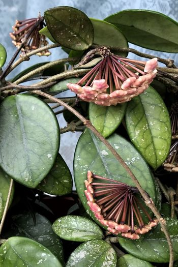 Leaf Green Color Growth Freshness Day Beauty In Nature Outdoors No People Nature Plant Flower Close-up Hoya Hoya Carnosa Fragility Flower Head Wax Flower