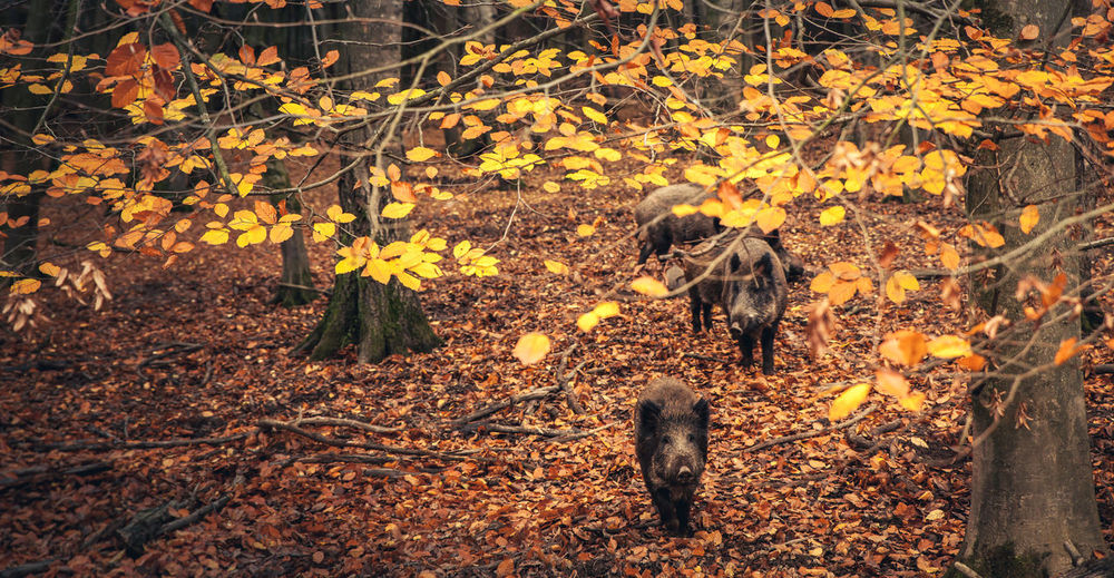 Close-up of boars during autumn