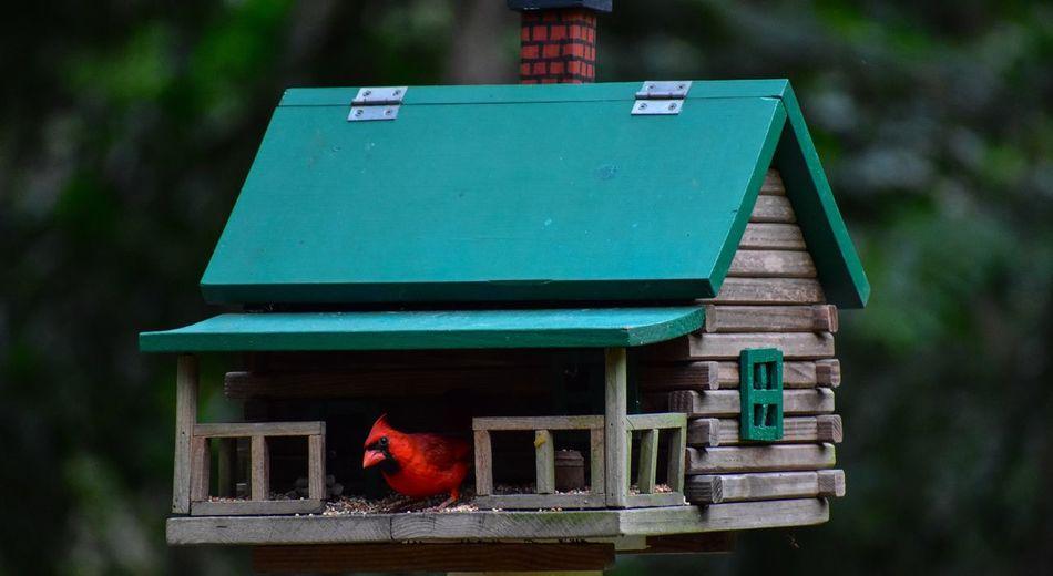 Red bird feeding