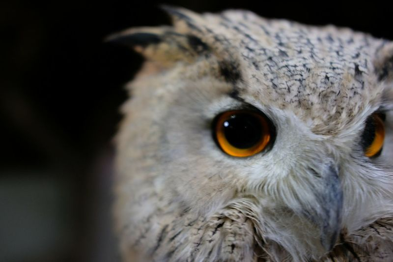 フクロウ とり Dark Animal Body Part Animal Head  Bird One Animal Animal Eye Animal Wildlife Bird Of Prey Looking At Camera Close-up Portrait Eye Animal Themes Black Background No People Beak Animals In The Wild Falcon - Bird Owl Night Outdoors