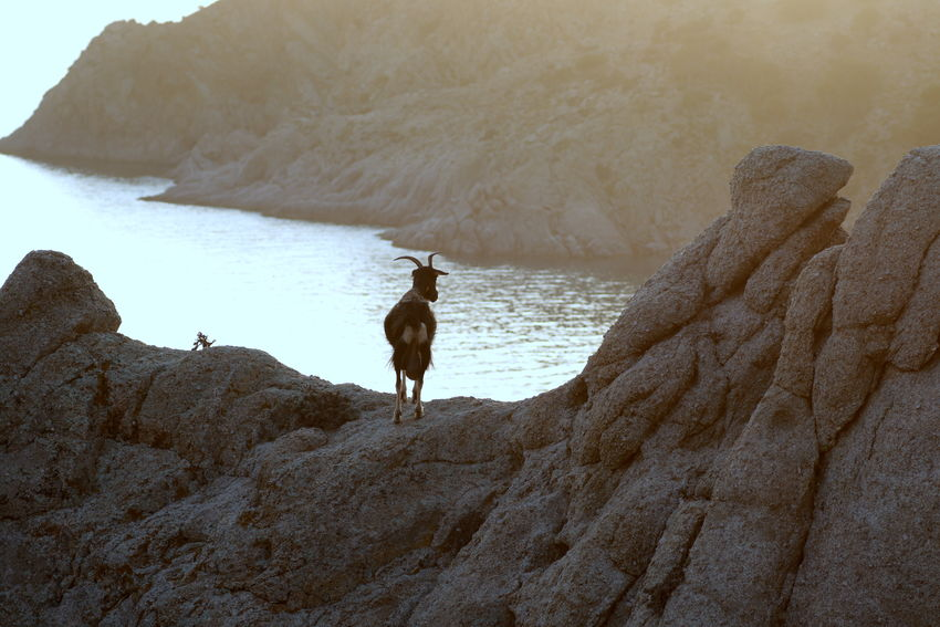 View of a goat in the island of Samothrace. Animal Themes Beach Beauty In Nature Day Domestic Animals Goat Mammal Mountain Nature No People One Animal Outdoors Pets Rock - Object Rock Formation Scenics Sea Sky Water Summer Exploratorium