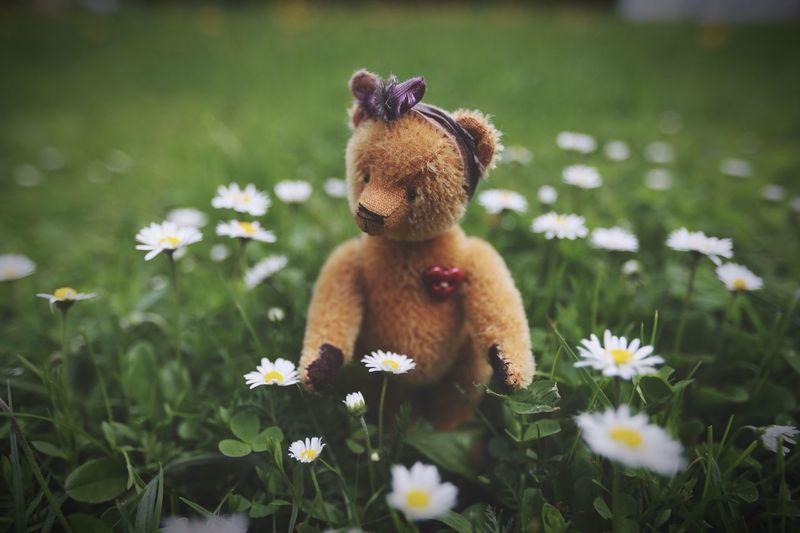 Teddy Bear On Daisy Field