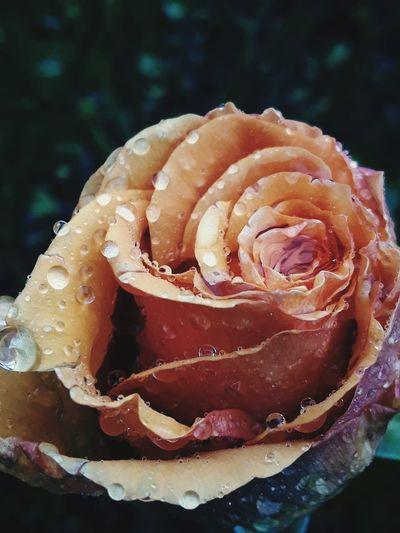 raindrops on roses.. PNW Rainy Days Raindrops Roses No People Nature Close-up