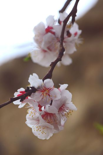 Apple Blossom Apricot Blossoms Flower Flowering Plant Plant Fragility Freshness Vulnerability  Growth Close-up Branch Pollen Tree Blossom Beauty In Nature Springtime Petal Nature