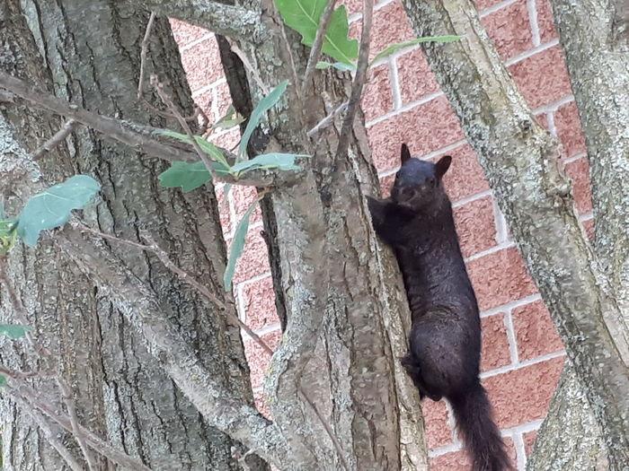 Squirrel!! Squirrel Squirrel Closeup Black Squirrel Climbing Squirrel Tree Climbing Black Black Squirrel Cute Tree Trunk Animal In Tree Animal Climbing Pets Domestic Cat Feline Squirrel Building Tail Branch Bark