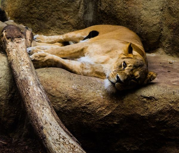 Close-up of lioness lying down on rock at zoo