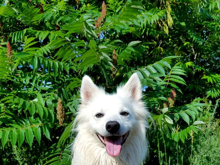 Freshness American Eskimo Doglover Dogoftheday Dogs Of EyeEm Dog Pets One Animal Domestic Animals Grass Green Color Animal Themes Mammal Outdoors Day Sitting Protruding No People Growth Plant Nature Tree Close-up Smile Smiles EyeEm Selects Sommergefühle Let's Go. Together. Pet Portraits