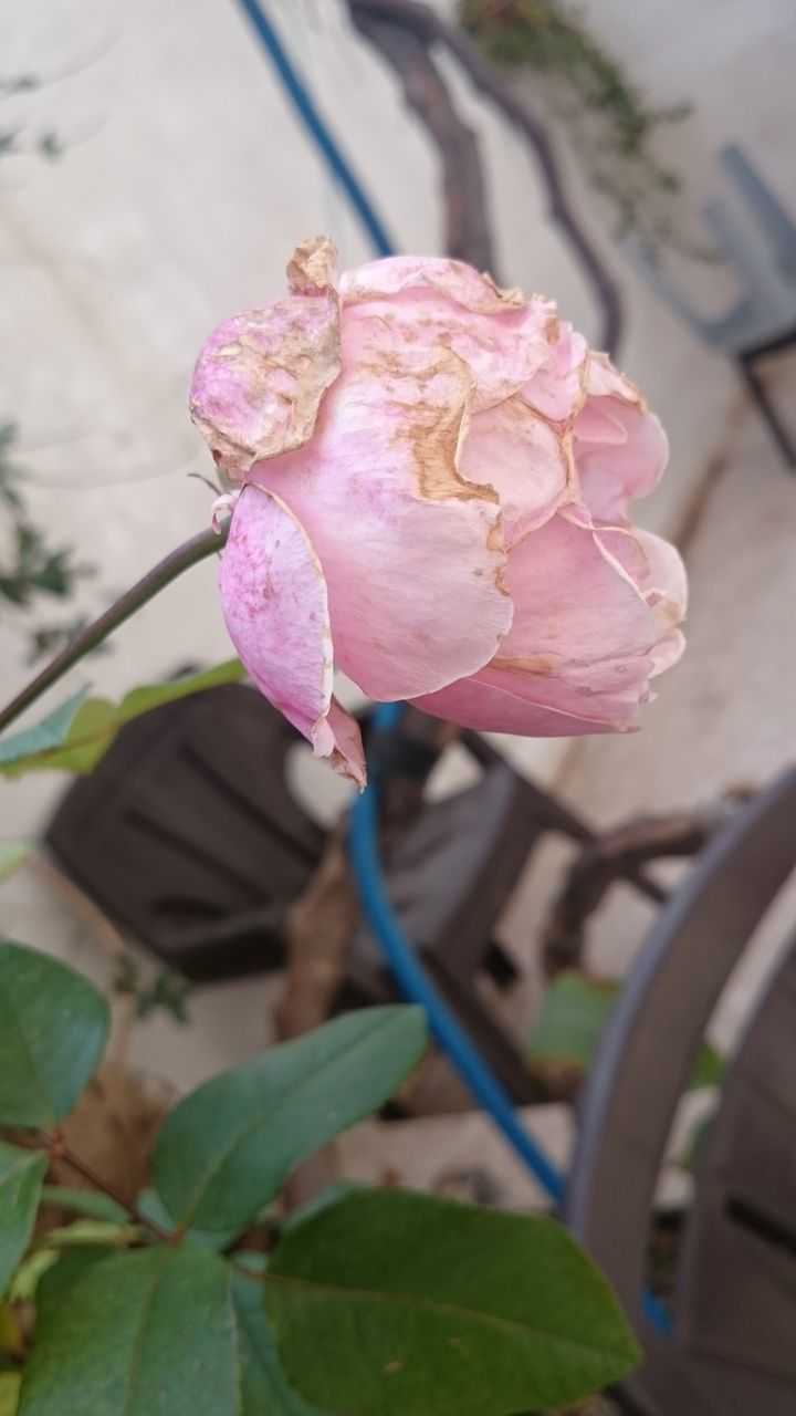 flower, leaf, plant, petal, nature, fragility, growth, beauty in nature, pink color, freshness, flower head, rose - flower, no people, focus on foreground, close-up, blooming, outdoors, day