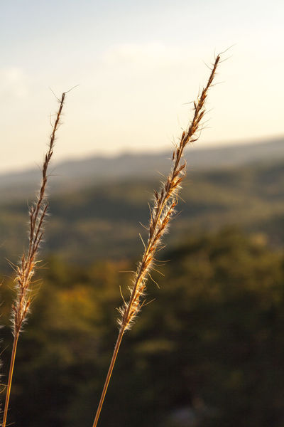 Autumn Beauty In Nature Blue Ridge Mountains Bristles Close-up Colorful Leaves End Of Day Fall Golden Light Growing Landscape Mountains Mountainscape Nature No People Outdoors Plants Reflective Sunset Tranquility Weeds Wide Depth Of Field