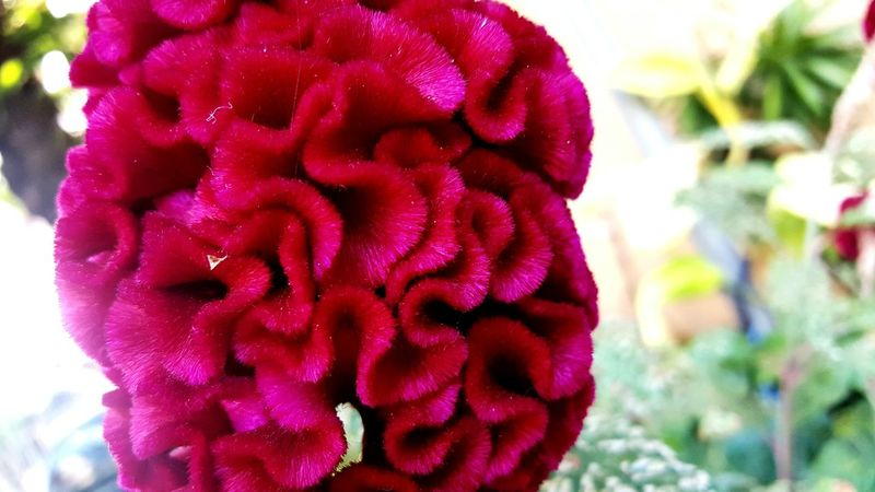 celosia cristata flower Crumpled and velvet First Eyeem Photo Celosía Flower Head EyeEmNewHere