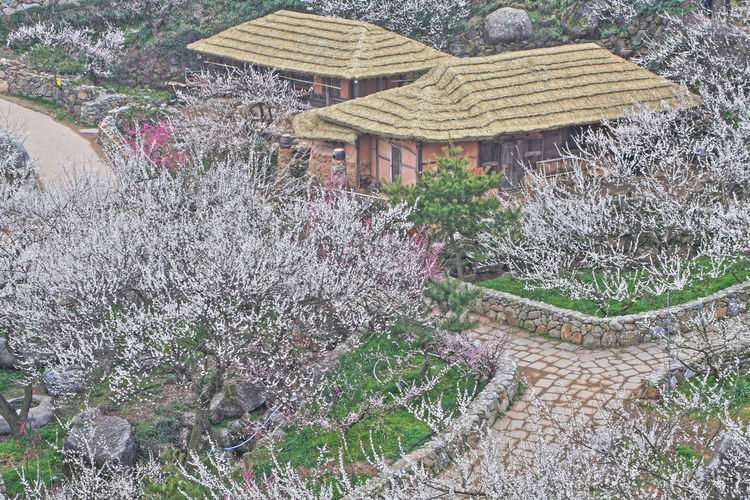 ApricotBlossom Apricot Nature High Angle View Beauty In Nature Apricot Tree Apricot Flowers Gwangyang, Korea