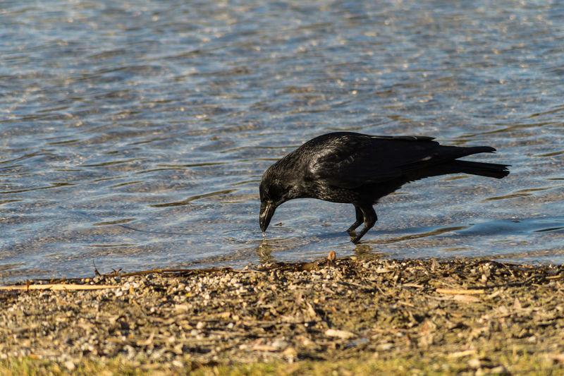 High Angle View Of Raven At Lakeshore