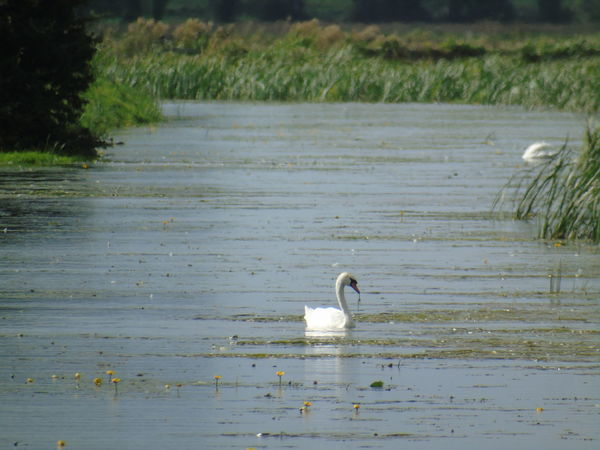 Bird Animal Themes Animals In The Wild Wildlife Swimming Tranquility Water Bird Outdoors Beauty In Nature Somerset Levels Uk In All Its Glory Nature Nature On Your Doorstep Avian Swan