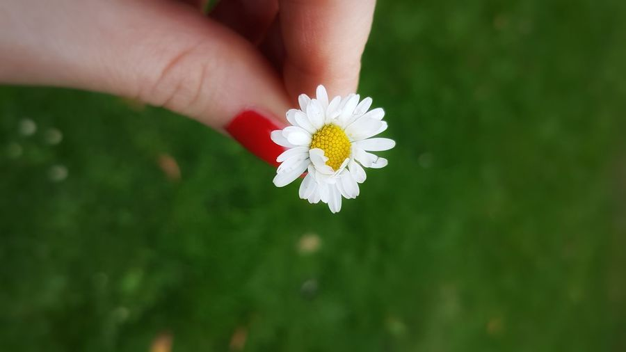 Close-up of hand holding white daisy flower