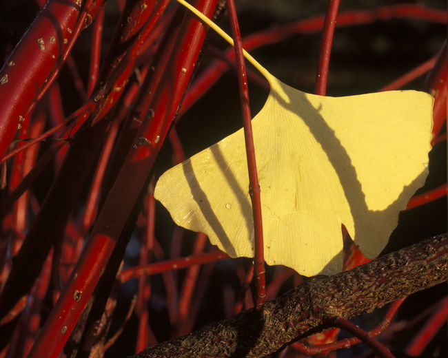 Gingko leaf in Autumn Autumn Beauty In Nature Ginko Leaf Leaf No People Red Tranquility Yellow Color