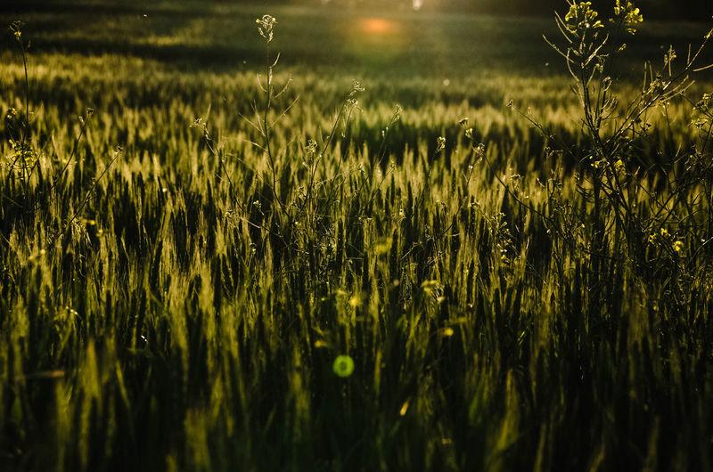 Grass growing in field