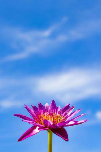 lotus Beauty In