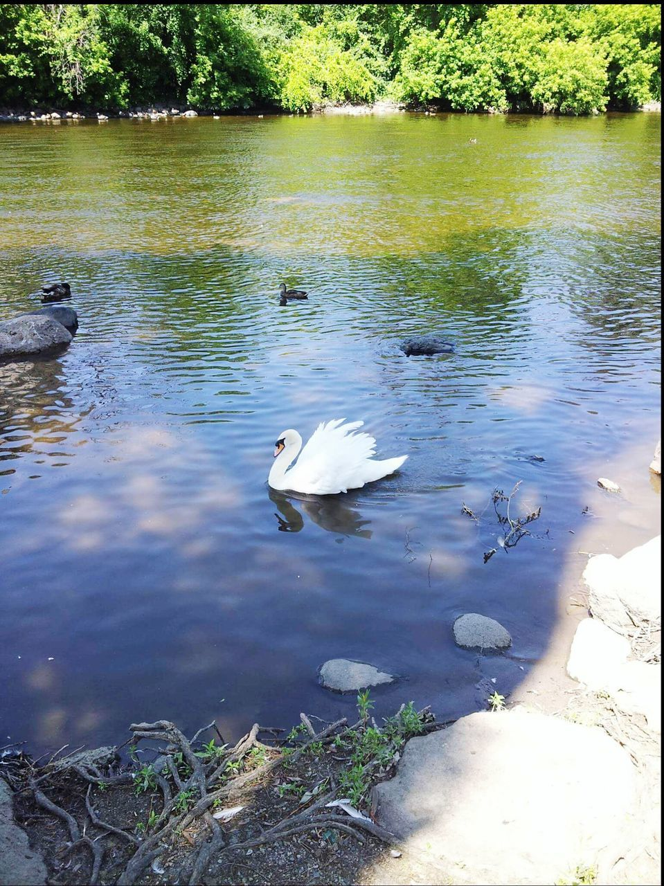 lake, animal themes, water, animals in the wild, nature, bird, tree, day, swan, white color, no people, animal wildlife, reflection, outdoors, swimming, high angle view, floating on water, water bird, growth, beauty in nature, tranquility