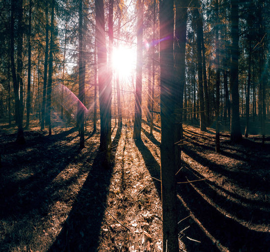 Spring Forest Scene Tree Sunlight Forest Lens Flare Plant Land Sunbeam Nature Sun Shadow Tree Trunk Trunk Beauty In Nature Day Tranquility WoodLand Tranquil Scene Growth Non-urban Scene Outdoors No People Streaming Bright Woods WoodLand Sunset Sunrise