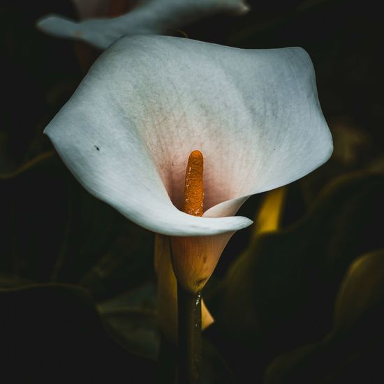 White calla lily flower in the garden in summer