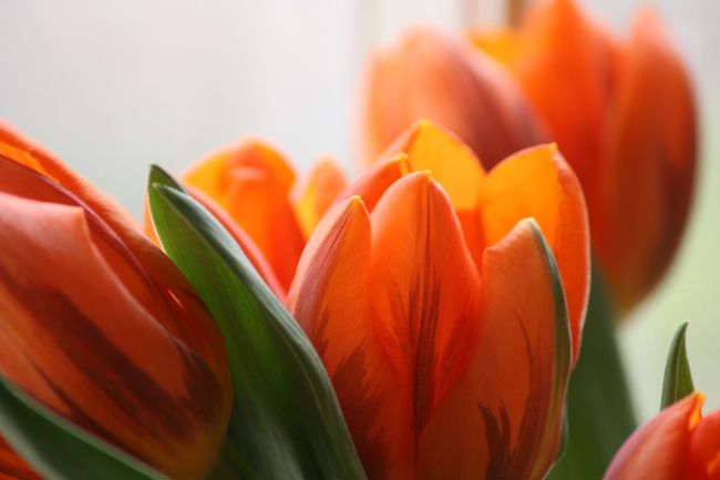 Beauty In Nature Blooming Close-up Flower Flower Head Fragility Freshness Growth Nature No People Orange Color Petal Plant Tulip