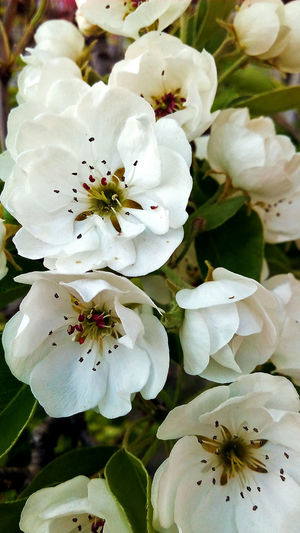 Nature Beauty In Nature No People Flower White Flowers Blossom Spring Beauty In Nature Day Flora Green весна цветение белые цветы красота природа весной Blossoming