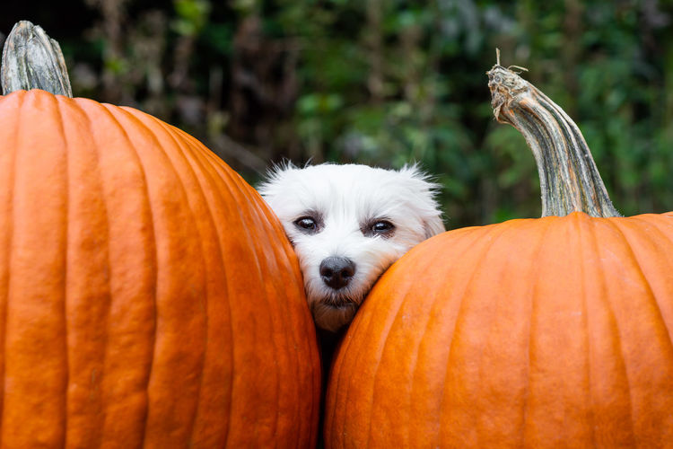 Close-up portrait of dog by pumpkins in yard