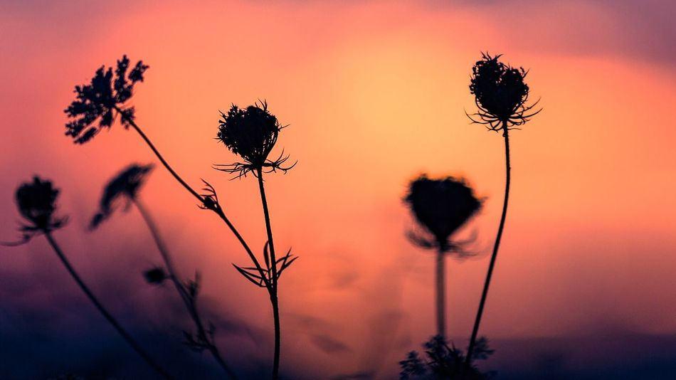 Silhouette Sunset Sunset_collection Growth Nature Flower Plant Silhouette Sky Beauty In Nature No People Outdoors Tree Thistle Flower Head Close-up Robert DuVernet Photography